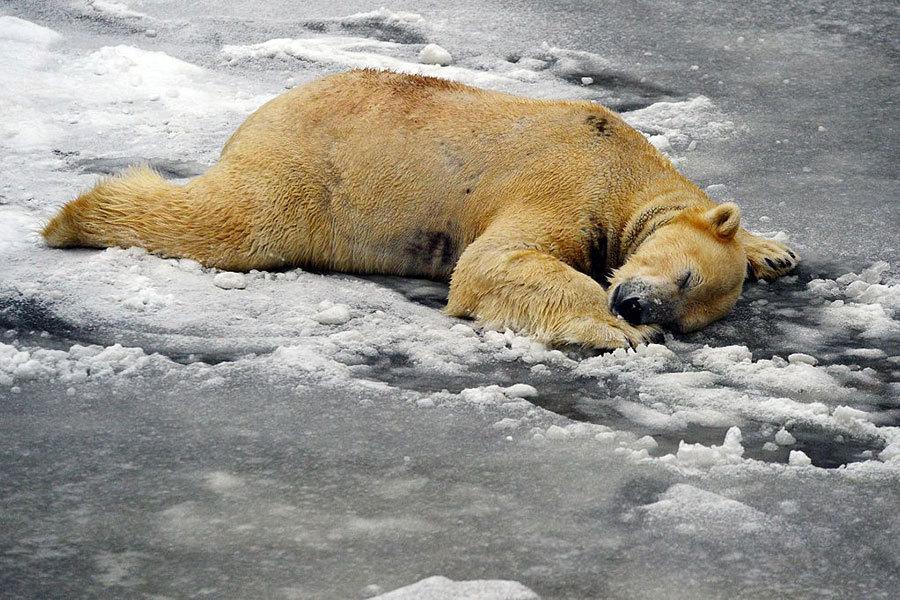 德國柏林動物園的北極熊仔冰雪中玩耍。(AFP/Getty Images)