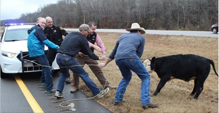 美田納西州牛仔貝維爾(David Bevill,圖右一)坐在警車引擎蓋上抛繩套牛。(警局Facebook擷圖)