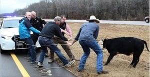 美一牛仔「騎」警車抛繩套牛片段熱傳