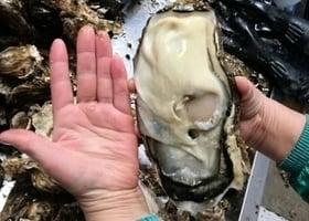 日本福島「巨型生蠔」是核泄漏惡果嗎?