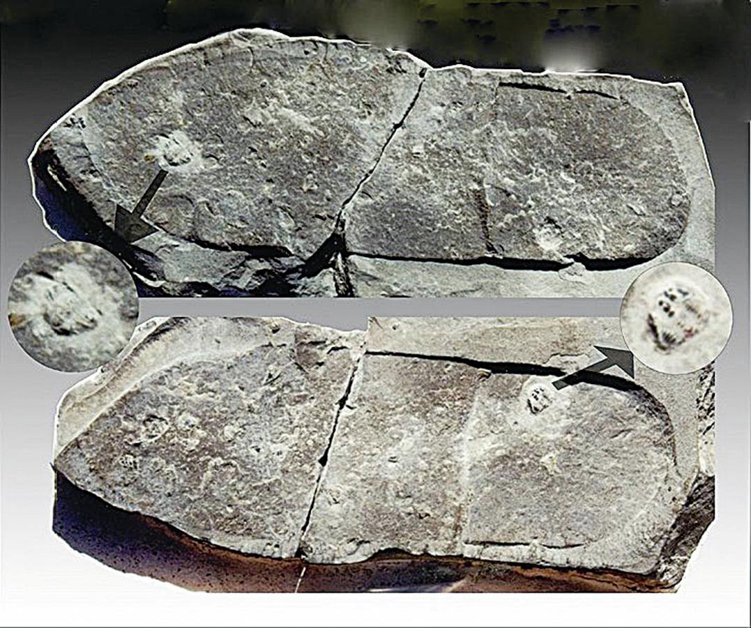 三葉蟲的化石上有人的腳印。(網絡圖片)