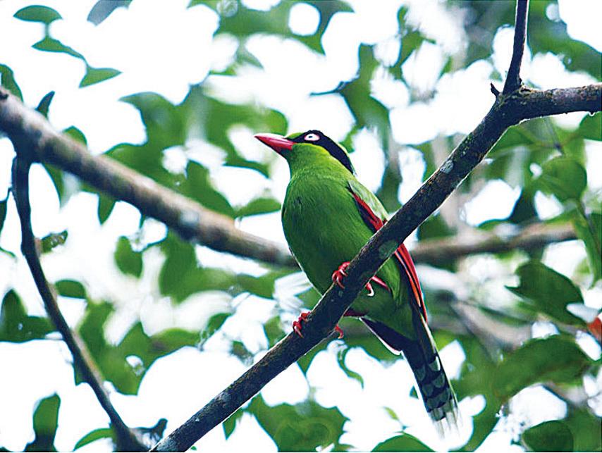 藍綠鵲。(網絡圖片)