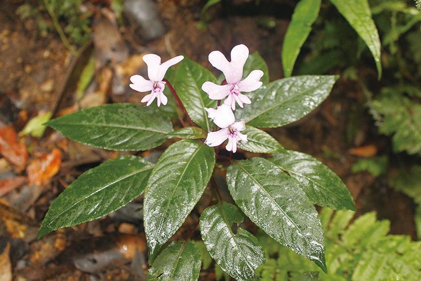 鳳仙花。(維基百科)