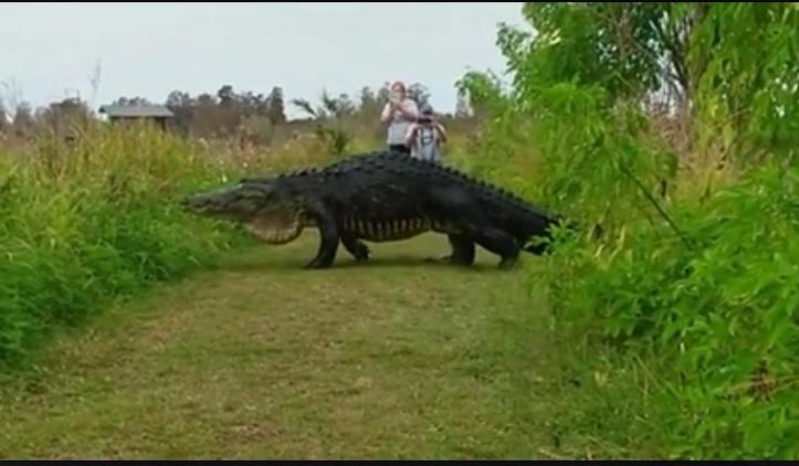 美國一名民眾15日在Facebook上傳一隻看似恐龍的動物,在自然中心閒晃的樣子,引發熱議。(Circle B. Nature Facebook擷圖)
