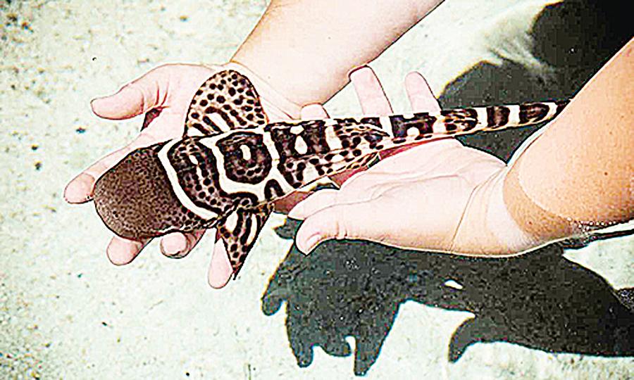世界首例澳豹紋鯊寡居產子
