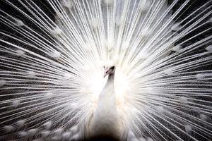 孔雀護尾的教訓
