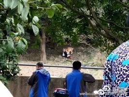 寧波發生老虎傷人事件 遊客逗虎時被叼走