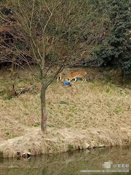 寧波動物園發生老虎傷人事件。(網絡圖片)