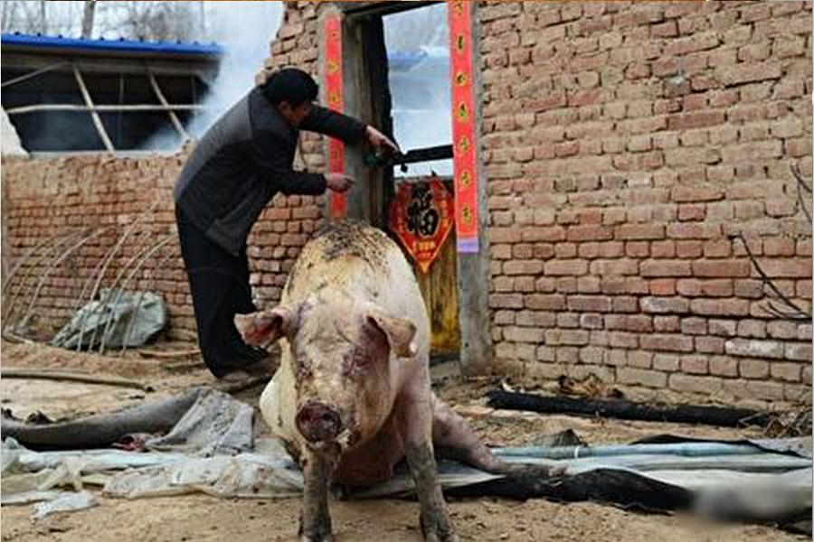 倖存寥寥無幾的幾頭豬也被燒得重傷(網絡圖片)
