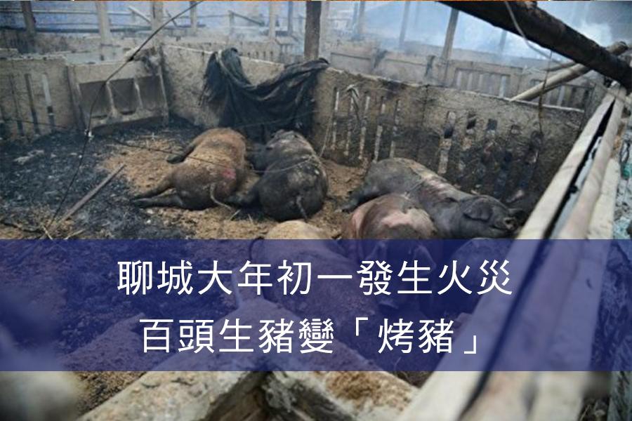 火災後,近百頭生豬被燒死,豬舍主人心血付之一炬。(網絡圖片)