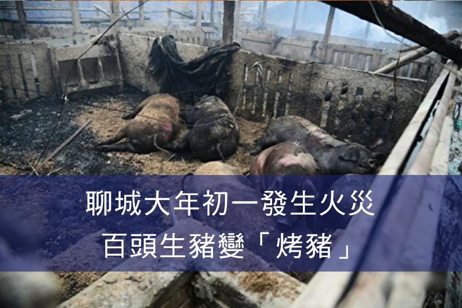 聊城大年初一發生火災 百頭生豬變「烤豬」