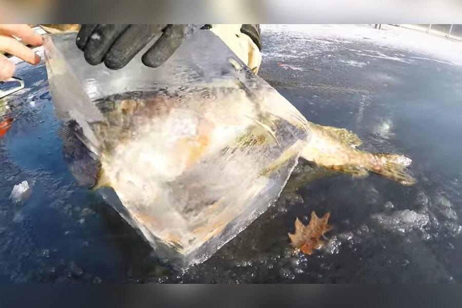 日前,美國印第安納州兩名男子在湖上釣魚時,驚見一幕奇景:一條狗魚咬著半條鱸魚窒息至死,霎那間雙雙被冰封,將死亡的瞬間定格下來。(視像擷圖)