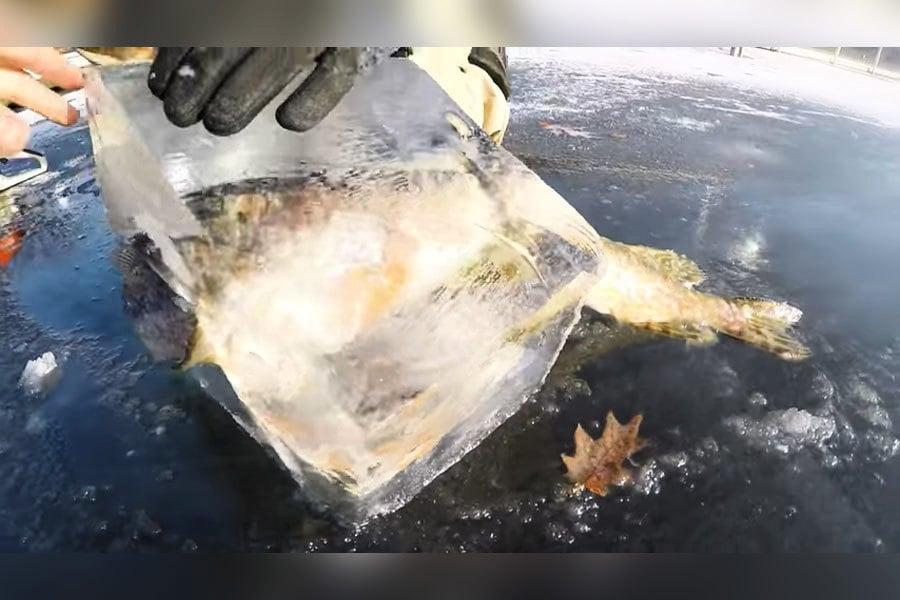 罕見奇景!狗魚咬著鱸魚同遭冰封