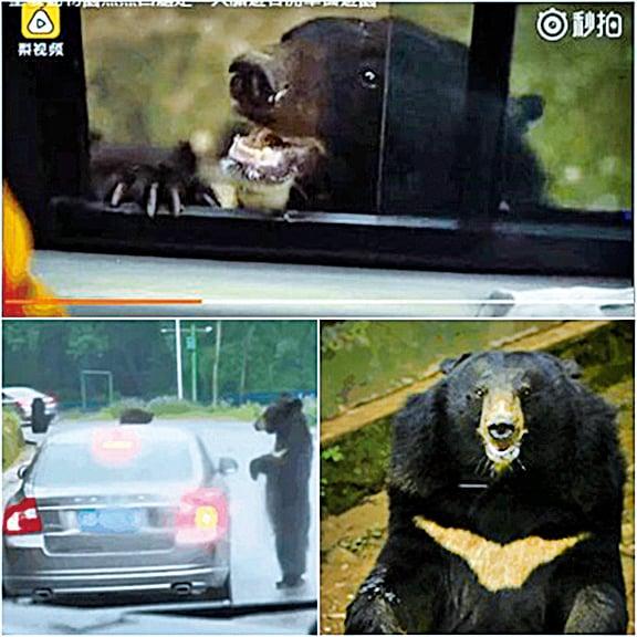 重慶動物園膽大遊客開車窗黑熊探頭索食