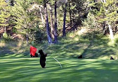 小熊高爾夫球場上耍寶,萌翻所有人。(視頻截圖)