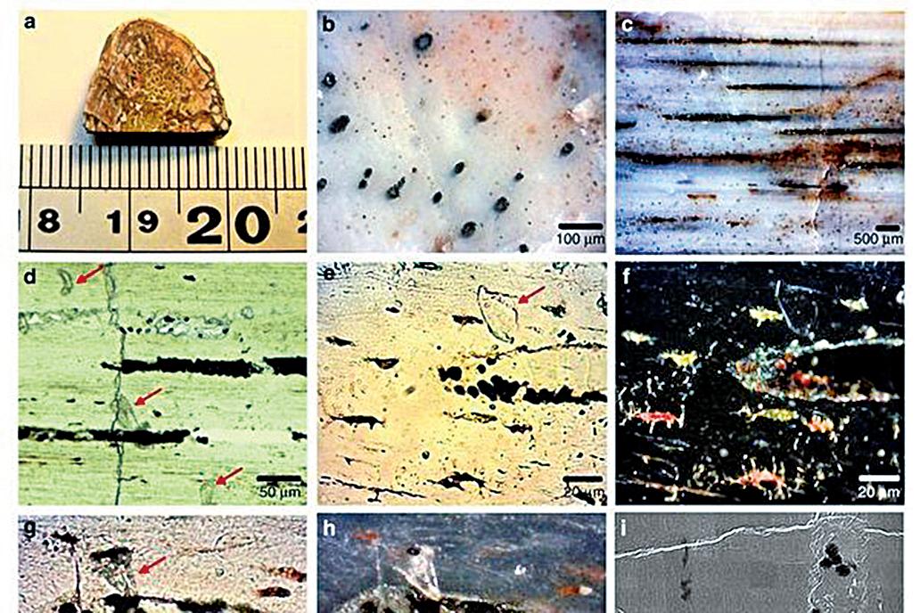 科學家宣佈,在1億9,500萬年前的草食性長頸恐龍的肋骨化石中,發現現存最古老的軟組織殘留物。台灣的國家同步輻射研究中心也對這項全新發現貢獻一份心力。(自然通訊期刊網頁www.nature.com/)