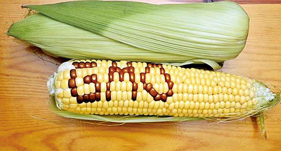 轉基因玉米。(網絡圖片)