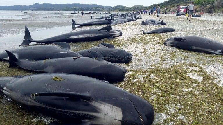 新西蘭數百鯨魚擱淺死亡 規模史上第三大