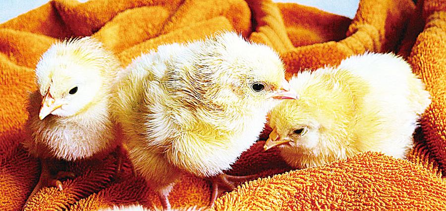 雞智商超想像或衝擊養殖業