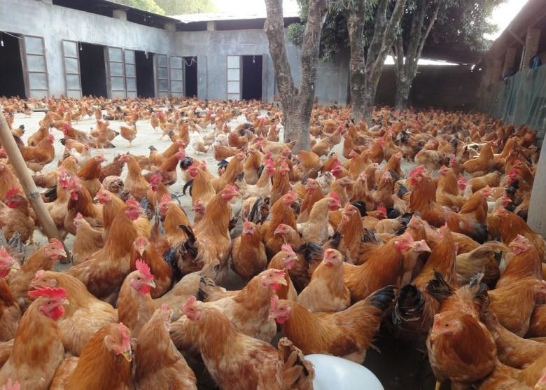 中國目前已進入甲型禽流感H7N9的高峰期,人類感染H7N9和發病風險正持續增加。今年禽流感病毒活躍程度比往年同期為高。(網絡圖片)