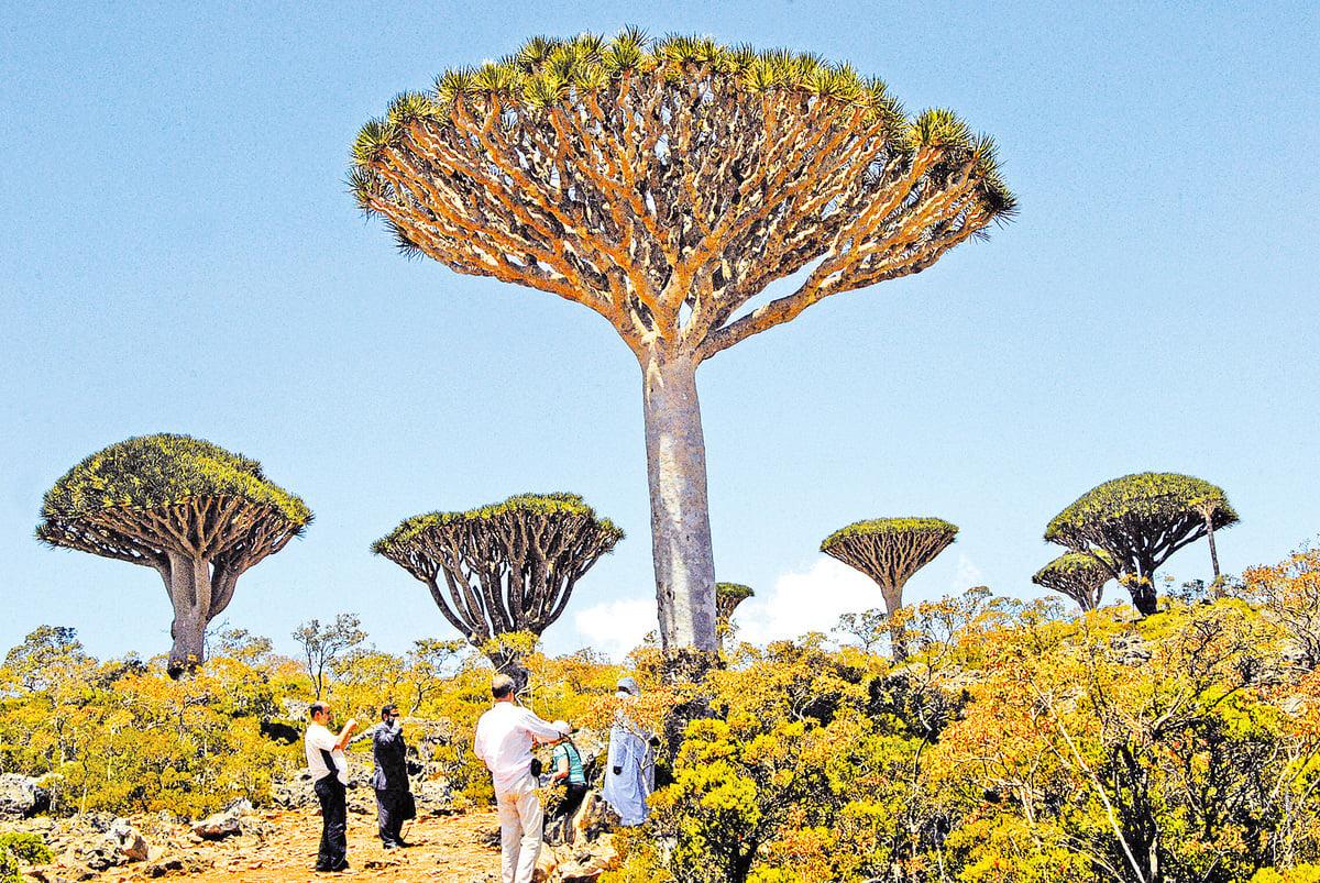 索科特拉島上的龍血樹。(AFP/Getty Images)