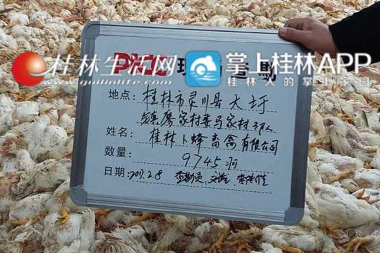 微信熱傳照片顯示,桂林靈川縣大圩鎮廖家村委馬家村養殖戶的大量肉雞死亡。(網絡圖片)