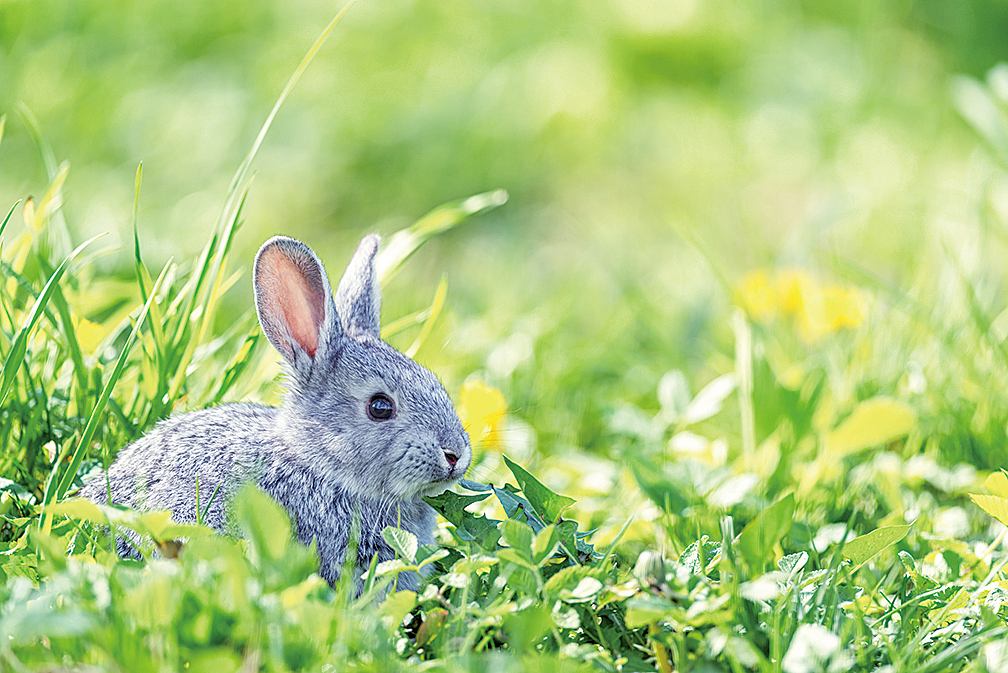 兔子(fotolia)