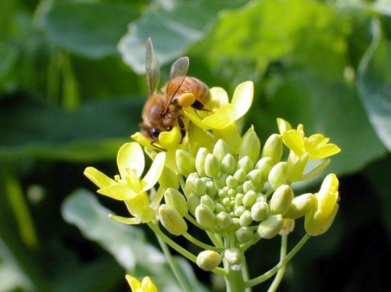 蜂使為油菜花授粉。(苗栗區農業改良場提供/中央社)