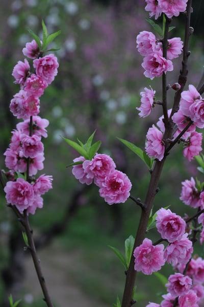 中國古人以杏花比美人。圖為台灣貓空杏花開。 (台北市觀傳局提供/中央社)