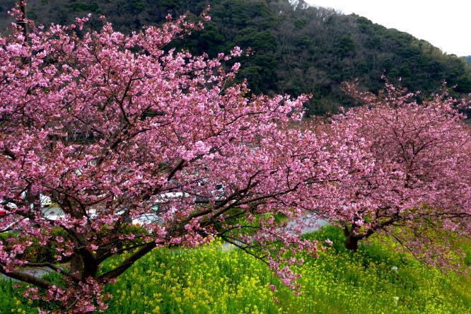 日本伊豆半島南部的菜花與早開的河津櫻花融為一體!(容乃加/大紀元)