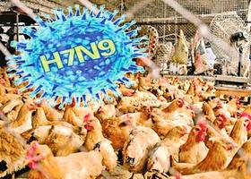 民不知情 活雞市場依然紅火