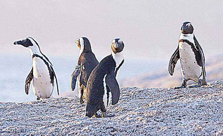 食物短缺被視為非洲企鵝瀕危的主因。(Getty Images)