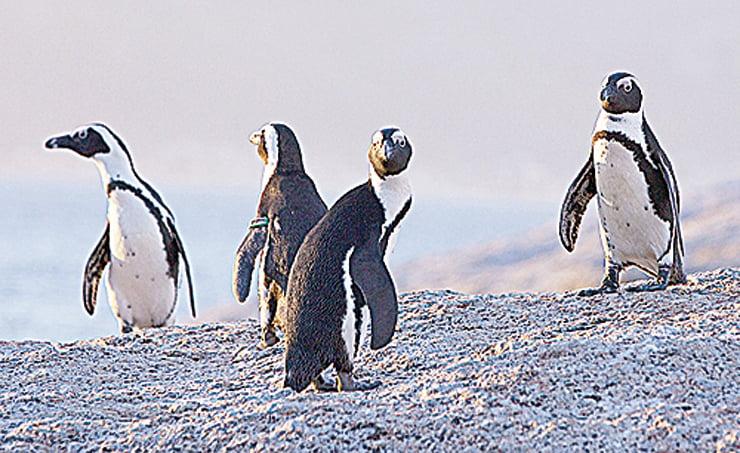 氣候變遷和人類活動 影響瀕危企鵝捕魚