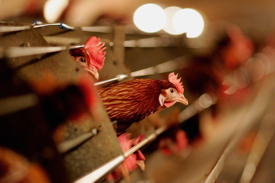 隨著H7N9病毒1月份造成79人死亡、192人感染,中國可能將面臨百年來最嚴重的一波禽流感襲擊。(Jamie McDonald/Getty Images)