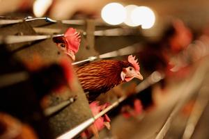 隨禽流感蔓延 百年最大瘟疫威脅中國