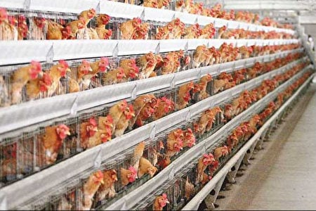 大陸進入H7N9禽流感疫情高發期。(網絡圖片)