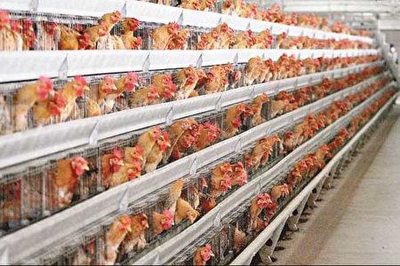 陸H7N9禽流感高發期 中共抓「發聲」的民眾