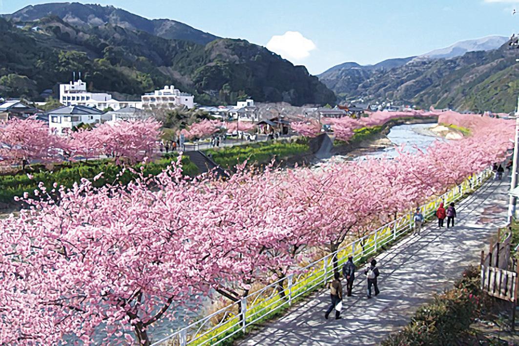日本靜岡縣河津町的櫻花盛開,將該鎮染成一片粉紅色,十分美麗。(河津町觀光協會)