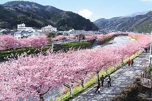 早開櫻花滿佈東京近郊知名小鎮
