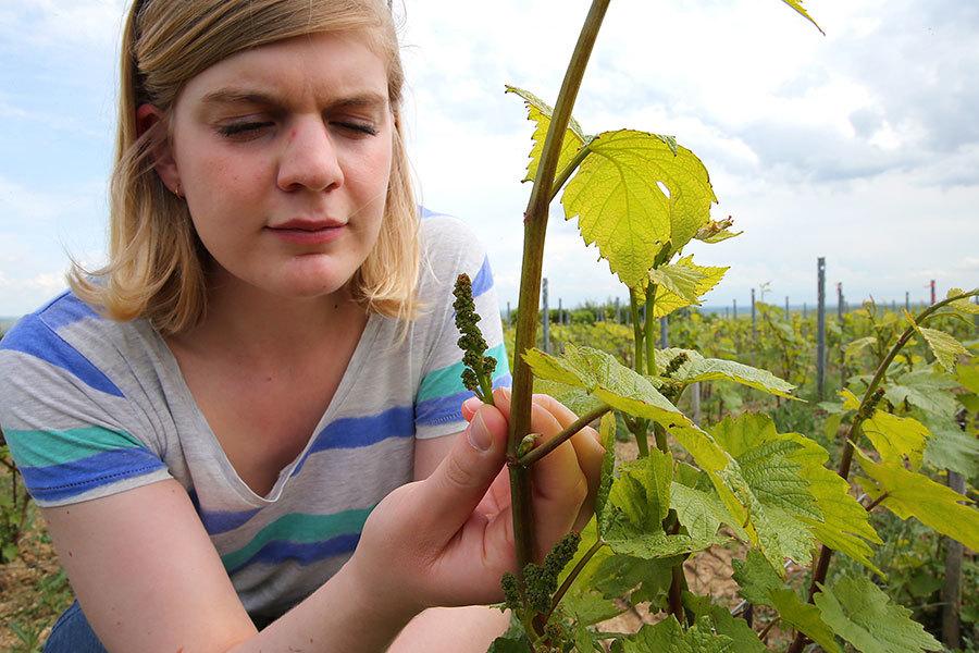 隨著綠色食品的興起,綠色葡萄酒也越來越得到消費者的青睞。(FRANCOIS NASCIMBENI/AFP/Getty Images)