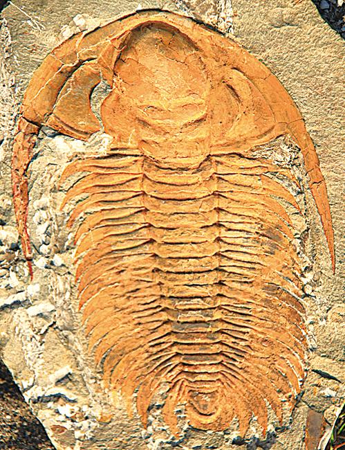 三葉蟲最早出現於寒武紀,最晚的三葉蟲於晚二疊紀物種大滅絕時期消失。(維基百科)