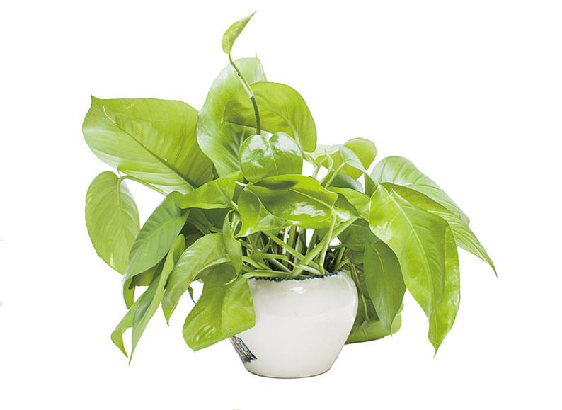 澳洲國立大學的研究揭示,植物可能可以去掉不再有用的記憶,以免耗用能量。圖為植物盆栽。(Fotolia)