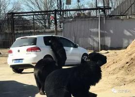 北京八達嶺動物園內一自駕車遭黑熊圍堵