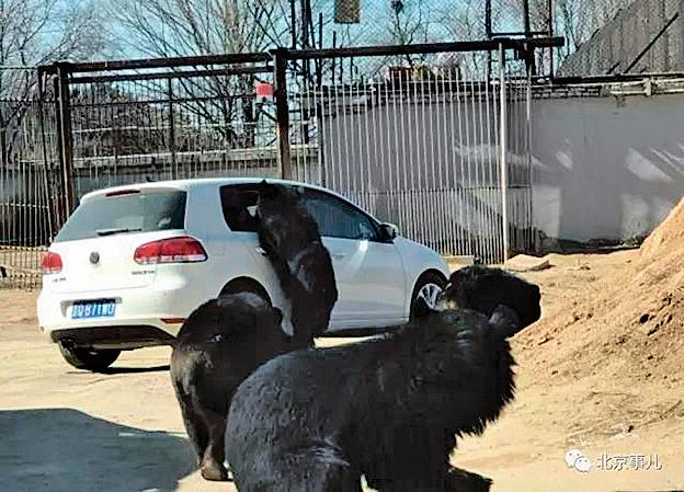 兒童遊動物園誤開窗 黑熊熊爪伸進車