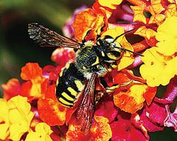 蜜蜂能學會踢球取美食讓科學家驚訝