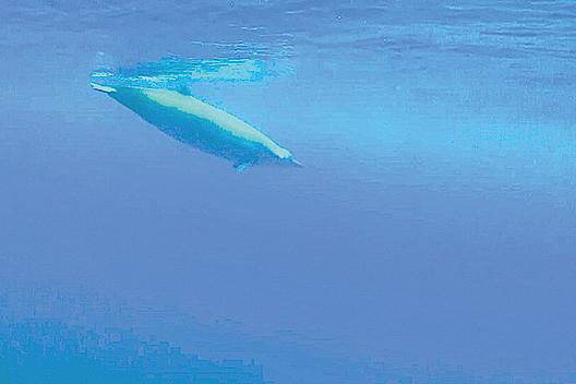 特魯氏中喙鯨極為罕見,因其幾乎不在淺水區活動。(影片截圖)