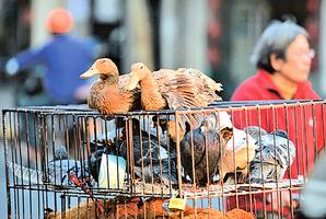 湖北大冶爆H5N6亞型禽流感疫情