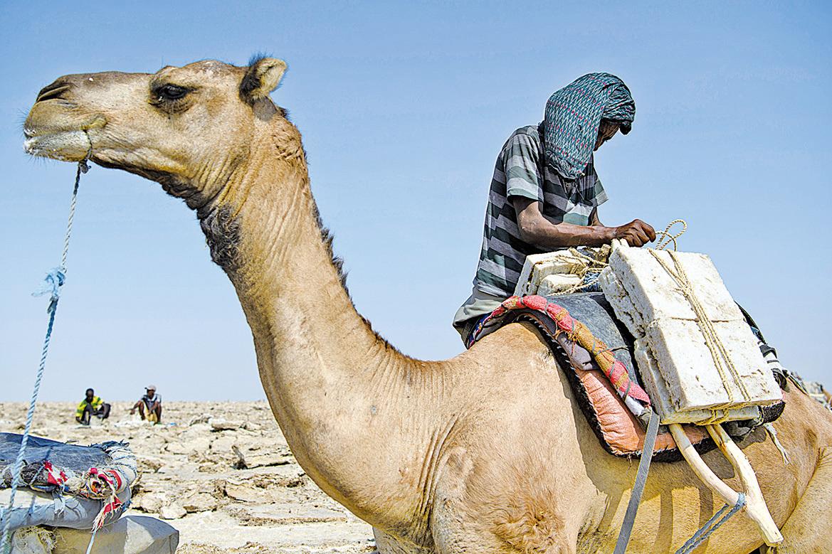 駱駝裝載鹽塊。