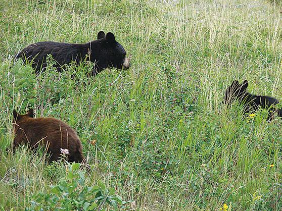 沃特頓冰川公園的黑熊和棕熊。(網絡圖片)