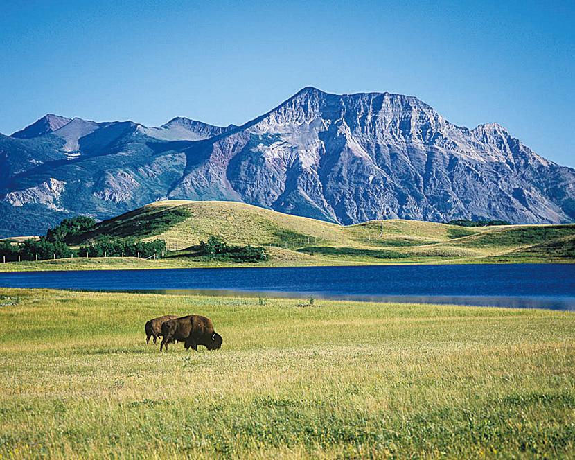 美景之下偶爾會看到野牛。(網絡圖片)
